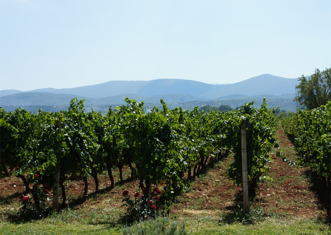 Grabovac Vineyards
